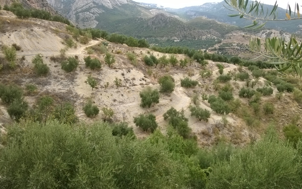 Land with Olive Trees in Quesada
