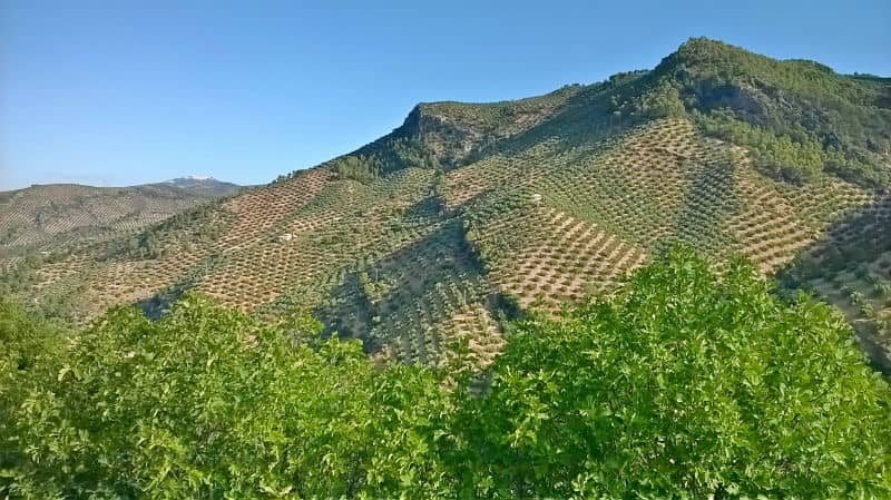 Land with 300 Olive Trees